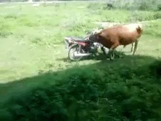 【動画】バッファローさん、性欲が暴走してバイクをレイプしてしまう……